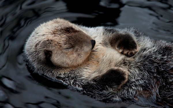 Sleeping Otter